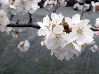 2010年4月7日桜