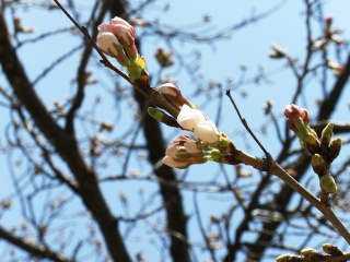 2011年4月13日桜
